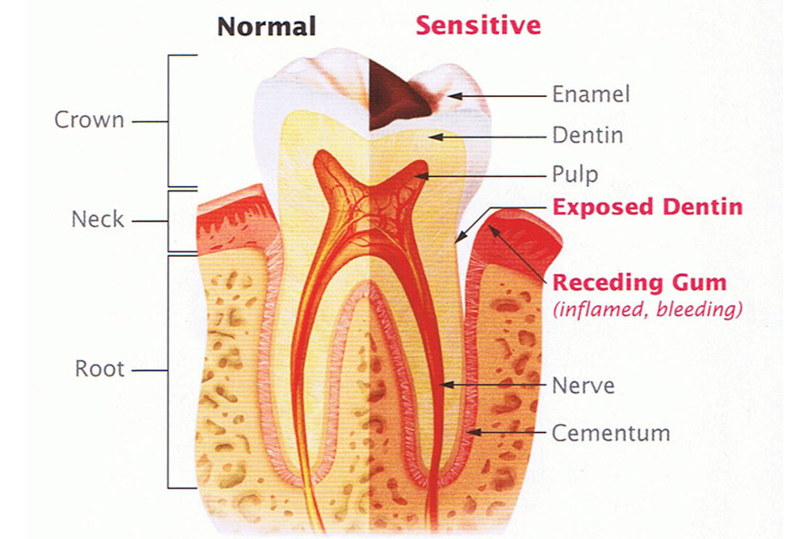 Tooth Pulp Important Functions
